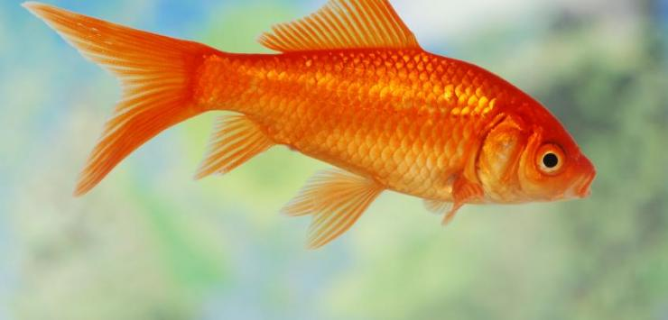 Goldfish, Death and Intuition